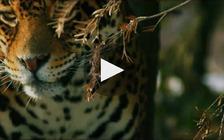 Bringing Jaguars Back into the U.S. Southwest (Defenders of Wildlife/UCLA School of Geography)