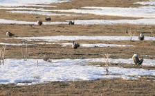 Oregon's U.S. senators have criticized the Interior Department's proposed changes the sage-grouse conservation plan. (Nick Myatt/Oregon Dept. of Fish and Wildlife)