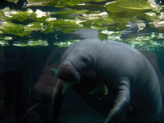 PHOTO: Manatees can be found in open water and on tidal creeks in Florida. Boaters are being urged to watch their surroundings carefully to avoid hitting them. Photo credit: Chris Muenzer