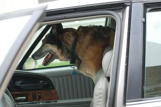 PHOTO: Taking your pet for a ride in the car is one of the joys of summer, but veterinarians caution against leaving a pet unattended in the car, even with the windows cracked. Photo credit: Pippalou / Morguefile.com.