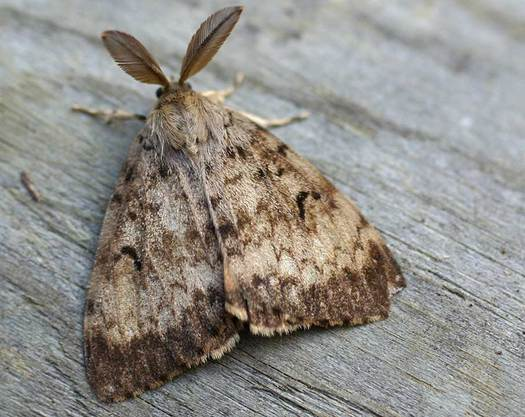 PHOTO: The gypsy moth feeds on over 250 species of trees and shrubs, and Illinois is applying treatments in nine areas to stop its spread. Photo credit: Jeff Delonge/Wikimedia Commons.