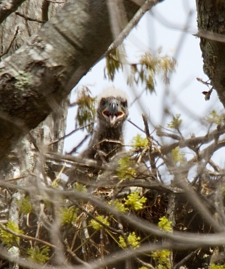 PHOTO: A close-up of one of two baby bald eagles (called eaglets) in its nest at the Nature Conservancy's Mashomack Preserve on Shelter Island. Photo credit: Jim Colligan. - See more at: http://www.publicnewsservice.org/2014-07-01/endangered-species-and-wildlife/long-island-baby-eagles-taking-wing-for-independence-day/a40228-1#sthash.St5idPBu.dpuf