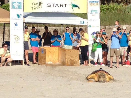 """PHOTO: Loggerhead sea turtles will be released this weekend at the """"Tour de Turtles,"""" with satellite transmitters to track their travels around Florida's coast. Photo courtesy Sea Turtle Conservancy."""