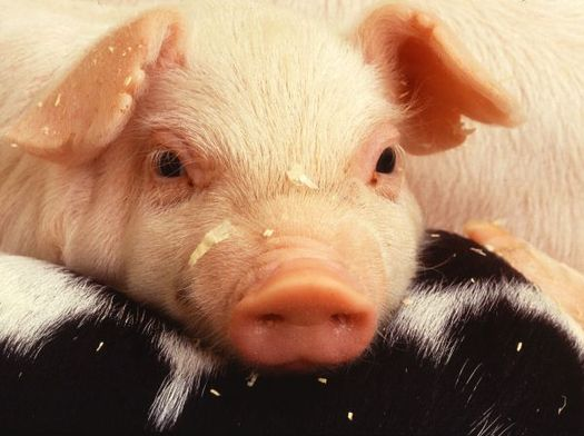 PHOTO: Porcine epidemic diarrhea virus, or PED, has killed millions of baby pigs in 30 states, but the Wisconsin State Veterinarian says PED has hit other pork-producing states much harder than Wisconsin. (Photo courtesy of Univ. of Illinois)