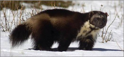 PHOTO: The U.S. Fish and Wildlife Service has decided that the wolverine will not be listed under the Endangered Species Act. About 300 animals exist in the United States, mainly in Montana, Idaho and Wyoming. Photo credit: U.S. Forest Service