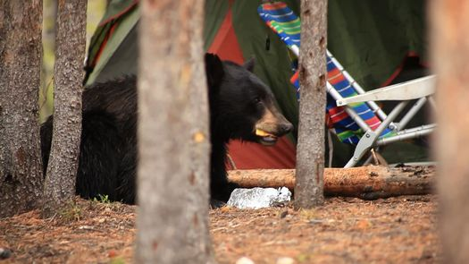 PHOTO: It's been a busy summer for state wildlife officials dealing with an increase in black bear nuisance complaints in Northern Nevada. Photo courtesy National Park Service