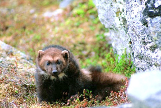 PHOTO: The U.S. Fish and Wildlife Service has decided that the wolverine will not be listed under the Endangered Species Act. About 300 animals exist in the contiguous United States, mainly in Wyoming, Montana, Idaho and Washington. Photo credit: U.S. Fish and Wildlife Service