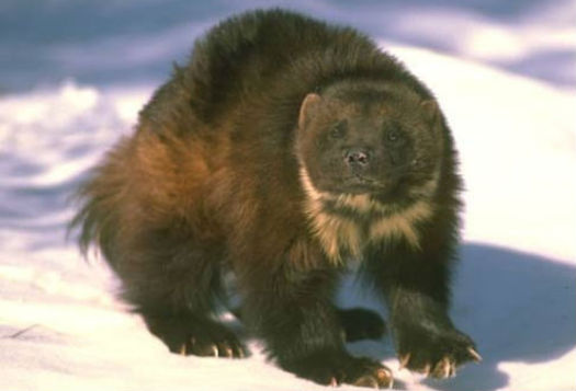Future of wolverines in co on shaky ground public news for Colorado fish and wildlife