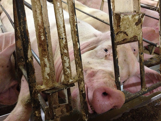 PHOTO: A legal complaint has been served over the odors emanating from a Minnesota pig farm with Iowa owners, with the plaintiffs claiming the stench is making their lives miserable. Photo credit: Mercy for Animals/Flickr.