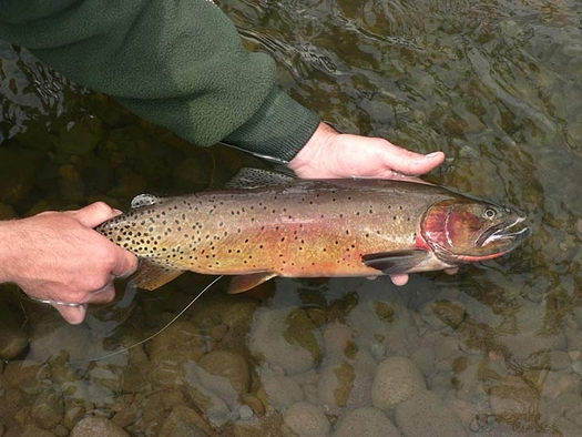 PHOTO: Yellowstone cutthroat trout fishing contributes $20 million a year in recreation spending in southeastern Idaho. A new report shows how the Land and Water Conservation Fund helps preserve the fishery, and calls for full LWCF funding. Photo credit: National Park Service