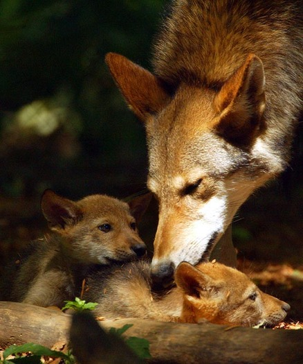 Photo: The wildlife community warns North Carolina's red wolf population is in jeopardy if the U.S. Fish and Wildlife Service opts to end the recovery program. Photo courtesy of the U.S. Fish and Wildlife Service.