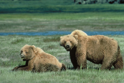 PHOTO: The U.S. Fish and Wildlife Service has increased the number of anticipated grizzly bear killings to 11, due to conflicts with livestock on public lands. Photo credit: Chris Servheen/USFWS