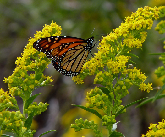 PHOTO: The monarch butterfly is one of the species found in Indiana that are listed in a new report about plants and animals experiencing dramatic population declines. Photo credit: Dendroica cerulea/Flickr.