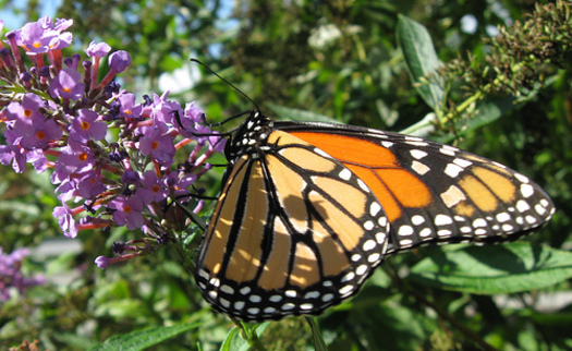 PHOTO: The monarch butterfly is one of the species seen in Arkansas this time of year listed in a new report about plants and animals experiencing dramatic population declines. Photo credit: National Park Service