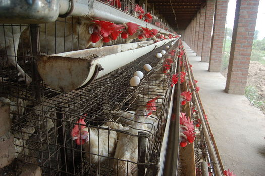 PHOTO: World Day for Farmed Animals is being observed in Indiana and around the globe to raise awareness about the treatment of animals killed for food. Photo credit: Sangamithra Iyer and Wan Park/wikimedia.