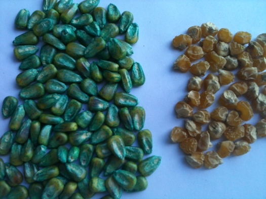 PHOTO: In his presentations about crop science, Ray Seidler shows people two types of corn seed. The yellow seed is conventional; the blue is genetically engineered, and coated with chemical pesticides. Photo courtesy of Seidler.