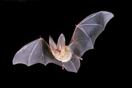 PHOTO: Bats are helpful to New Mexico farmers and people in general, despite being a mainstay among the Halloween creatures that may cause fear in some people. Photo courtesy of the New Mexico Energy, Minerals and Natural Resources Department.