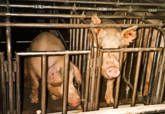 PHOTO: Workers in Indiana can help report cruelty and the abuse of farm animals with a new national tip line. Photo credit: Farm Sanctuary/Flickr.