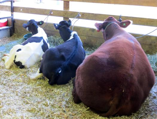 PHOTO: A new national tip line established by the Humane Society of the U.S. gives farm and livestock workers in Michigan and across the U.S. an anonymous option to report the abuse of farm animals. Photo credit: Andrea Church/Morguefile.