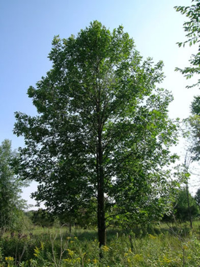 PHOTO: Scientists once feared Michigan had no remaining healthy ash trees like this one. However since spotting and analyzing a few, the search is now on for more survivors of the emerald ash borer. Photo courtesy of US Department of Agriculture Forest Service.