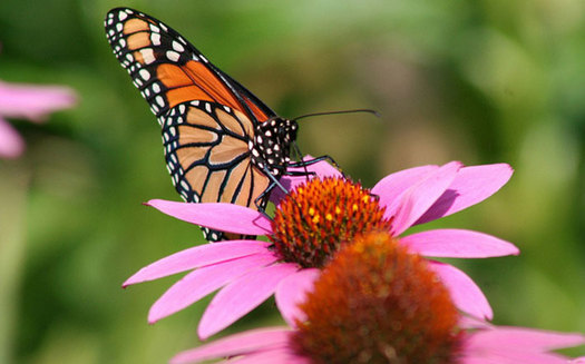 Photo: The number of monarch butterflies migrating through Florida are decreasing, according to conservationists. Photo credit: U.S. Fish and Wildlife Service.