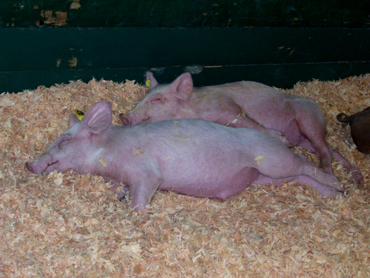 PHOTO: Three groups are suing the FDA over their approval of new combinations of growth-enhancing drugs to be administered to millions of animals raised for food, including pigs. Photo credit penywise/morguefile.