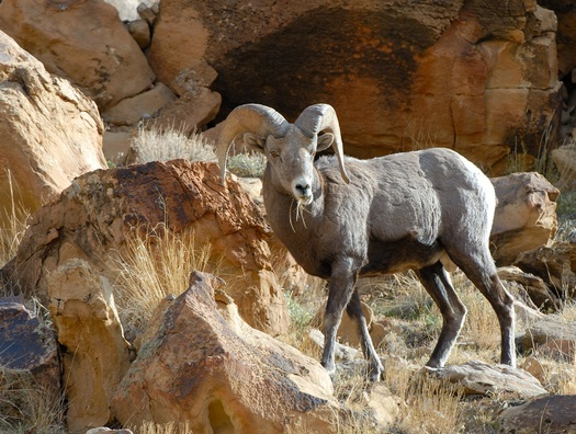 PHOTO: Rocky Mountain bighorn sheep in the Green River area are likely to have an audience this weekend as the animals become less concerned with humans and more interested in reproducing. Photo courtesy of the Utah Division of Wildlife Resources.