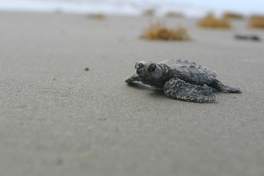 PHOTO: Sea turtles are among the many wildlife species affected by damage done to wetlands and estuaries on the Gulf Coast as a result of the Deepwater Horizon explosion and oil spill.