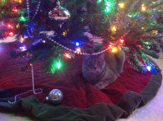 PHOTO: From the Christmas tree, to the tinsel, to a houseful of guests, the holidays pose many potential dangers for curious pets, so their owners are advised to take some simple precautions to keep them safe. Photo credit: M. Shand