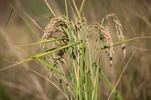 PHOTO: Rice growing in a field. The California Air Resources Board is considering the state's first agricultural protocol for the cap and trade program. It would allow rice farmers to generate offsets to sell in California�s carbon market, providing a new source of revenue for growers while contributing to the state�s clean-air goals. Photo credit: Matthew Grimm, Environmental Defense Fund.