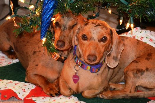 PHOTO: From the Christmas tree, to the tinsel, to a houseful of guests, the holidays pose many potential dangers for curious pets, so their owners are advised to take some simple precautions to keep them safe. Photo credit: Amy Schneider.