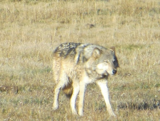 PHOTO: Utah Wildlife officials are confirming a coyote hunter shot and killed an endangered female gray wolf in the southwestern part of the state on Sunday. Photo courtesy of the Center for Biological Diversity.