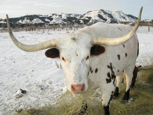 PHOTO: Theodore Roosevelt National Park maintains a small group of longhorn steers in the North Unit as a historic demonstration herd. Park fees are likely to be going up in 2015. Photo courtesy of Theodore Roosevelt National Park.