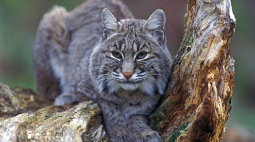 PHOTO: The Idaho Conservation League is exploring ways to protect pets and non-target species getting caught in traps. Trapping has become more popular in Idaho because of demand for fur from Asia, with bobcat pelts bringing around $400. Photo courtesy U.S. Fish and Wildlife Service.