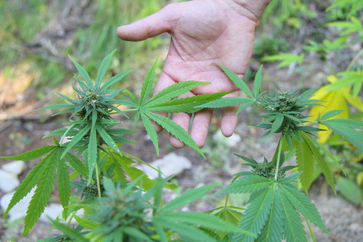 PHOTO: Legalizing and taxing marijuana could help reduce Arizona's projected $1 billion budget deficit, according to state Rep. Mark Cardenas of Phoenix. Photo courtesy of the U.S. Department of Agriculture.