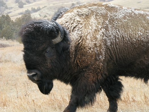 PHOTO: A new poll, conducted by Tulchin Research and sponsored by Defenders of Wildlife, shows that Montanans strongly support efforts to restore wild bison. Photo courtesy of National Park Service.