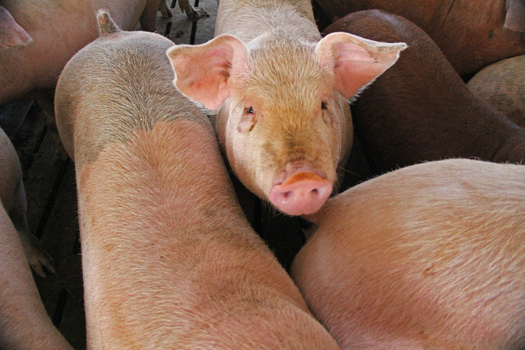 PHOTO: A handful of organizations are taking the Environmental Protection Agency (EPA) to court, demanding action on pollution from the country's 20,000 livestock operations. Photo credit: Green Fire Productions/Flickr.
