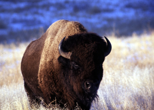 PHOTO: Rallies, marches and candlelight vigils have been held all week in honor of Yellowstone National Park's bison. Photo courtesy of the National Park Service.