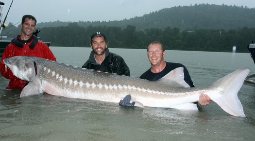 PHOTO: Without help from humans, monster fish such as the white sturgeon face the possibility of extinction, according to Zeb Hogan, a conservation biologist at the University of Nevada - Reno. Photo courtesy of Zeb Hogan, University of Nevada-Reno.