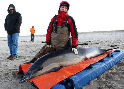 PHOTO: Hundreds of marine mammals are stranded on beaches in Massachusetts and around the country, and groups are asking Congress to restore critical funding to rescue them. Photo credit: © J. Cumes/Int'l. Fund for Animal Welfare