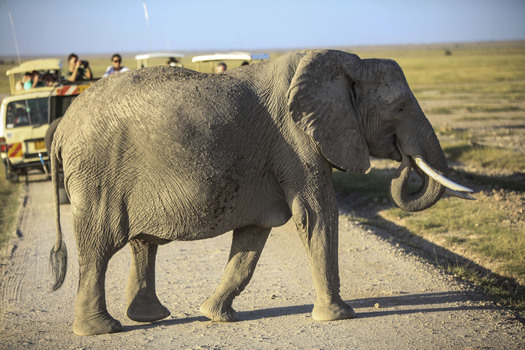 PHOTO: U.S. wildlife agencies and animal rights groups are working to help prevent poaching half a world away. As the African elephant population dwindles, the U.S. plans to strengthen its ban on importing and purchasing ivory. Photo credit: Copyright K. Branon/IFAW; used with permission.