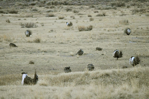 PHOTO: Spring has sprung, which means greater sage-grouse males are strutting their stuff, and females are checking out the goods. Fans are gathering near Craig, Colo., to support protections for sage-grouse habitat. Photo courtesy U.S. Forest Service.