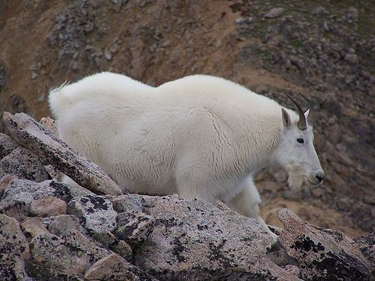 PHOTO: Rising temperatures are threatening the habitat of the American mountain goat, such as this one seen on Colorado's Mount Huron, considered by some to be the greatest mountaineer the peaks have ever known. Photo credit: Robert Shepherd/Wikimedia Commons.
