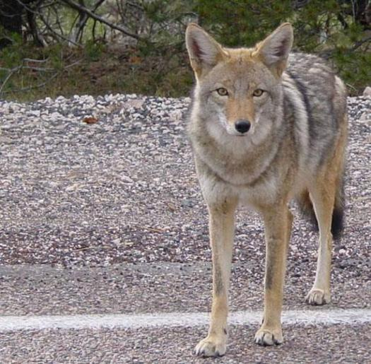 PHOTO: Animal-rights advocates say legislation pending in Albany won't cure local coyote problems. Instead, they predict ending a ban on live-restraint cable traps will subject many animals to torture. Photo credit: Marya/Flickr.