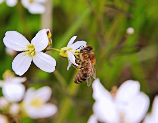 PHOTO: The University of Tennessee Extension estimates Tennessee's bee population has declined by as much as 50 percent in recent years. Photo credit: Butkovicdub/Morguefile.
