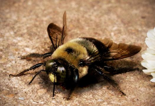 PHOTO: Bees are disappearing in Ohio and around the globe, and scientists say a class of insecticides known as neonicotinoids is contributing to the decline in bee colonies.  Photo credit: Krisi Larsen Brewer/Morguefile.