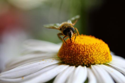 PHOTO: Bees are disappearing in South Dakota and around the globe, and scientists say a class of insecticides known as neonicotinoids is contributing to the decline in bee colonies. Photo credit: miniperium/morguefile.com.