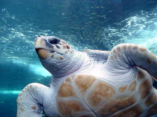 PHOTO: The Loggerhead Sea Turtle is one species potentially harmed by proposed deep-sea mining.  Photo credit: Damien du Toit/Wikimedia Commons