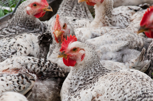An expert on avian influenza says it was just a matter of time that the disease would spread. Credit: U.S. Department of Agriculture/Flickr.