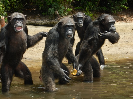 PHOTO: More than 125,000 people have signed a change.org petition demanding the New York Blood Center restore funding to care for 66 of its former research chimps who advocates say were abandoned by the nonprofit organization. Photo credit - Agnes Souchal for the HSUS.